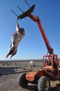 Free Range Bison Hunt Texas