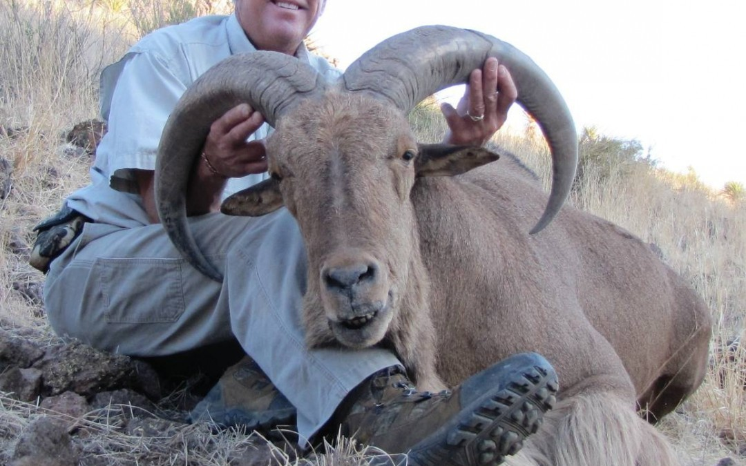 Free Range Aoudad Hunting in Texas