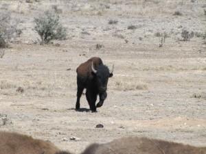 Bison Hunt - look at that bull!