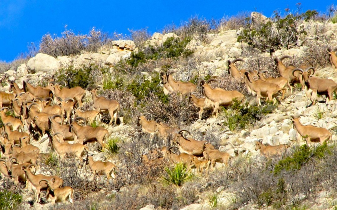 Huge Aoudad Herd Video