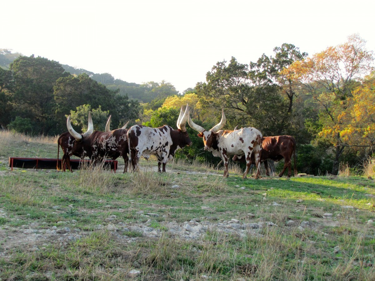 Watusi - Texas Exotic Hunts