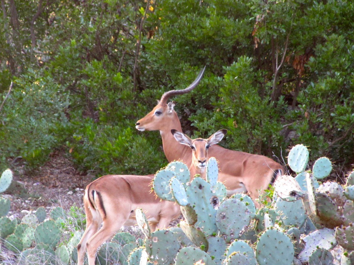 Impala - Texas Exotic Hunts