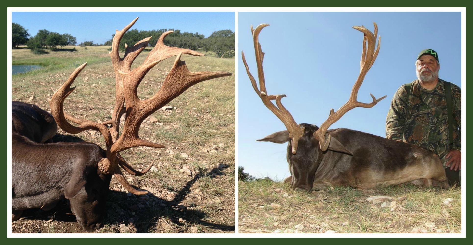 Fallow Deer Texas