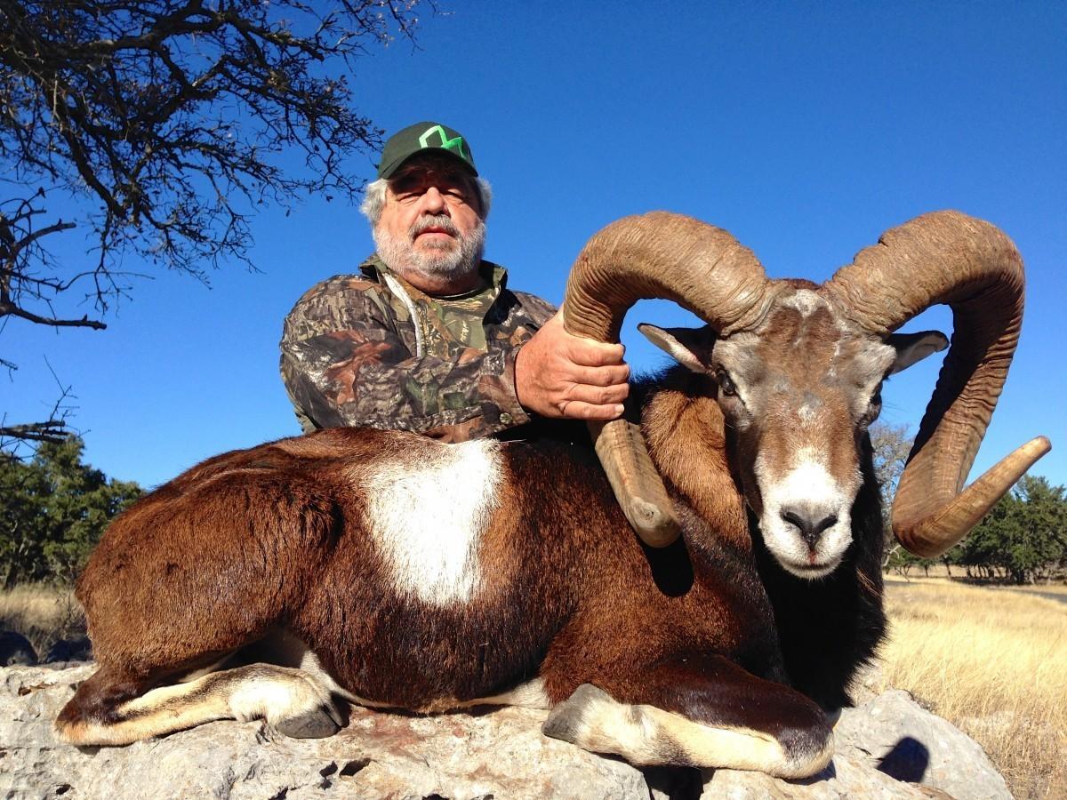 Mouflon - Texas Exotic Hunts