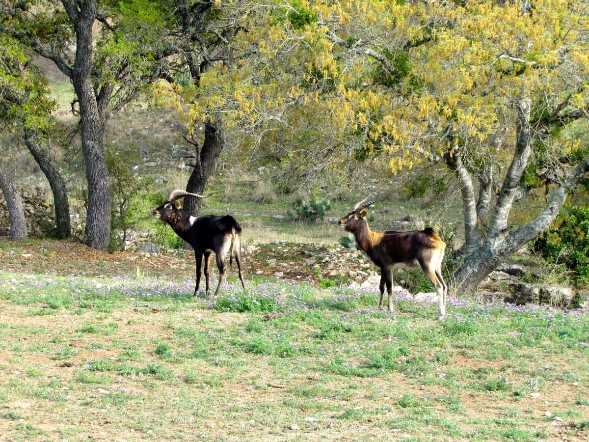 Nile Lechwe - Texas Exotic Hunts